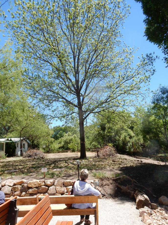 10- Dad's Pecan Tree Thriving