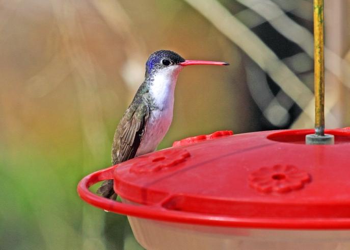 06-30 Violet-crowned hummingbird John Hoffman